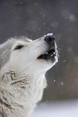 Portrait of a Captive Male Gray or Timber Wolf, Canis Lupus, Howling by John Cancalosi