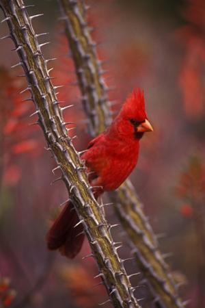 Portrait of a Male Cardinal, Cardinalis Cardinalis, Perched on a Thorny Branch
