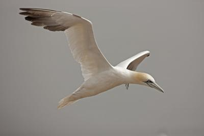 Portrait of a Northern Gannet, Sula Bassanus, in Flight by John Cancalosi
