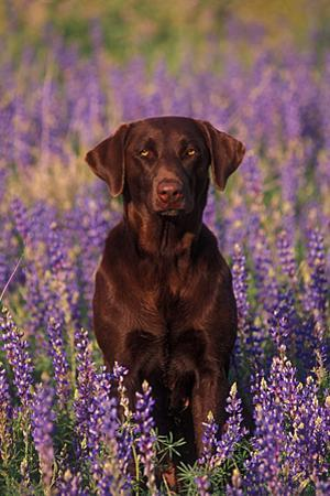 Portrait of a Pet Chocolate Labrador Retriever in a Field of Purple Wildflowers by John Cancalosi