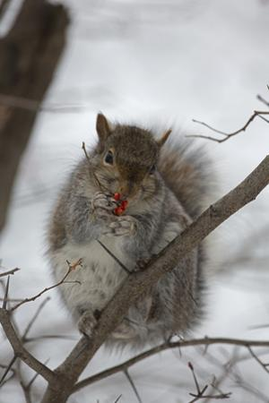 Portrait of an Eastern Gray Squirrel, Sciurus Carolinensis, Eating Berries in the Snow