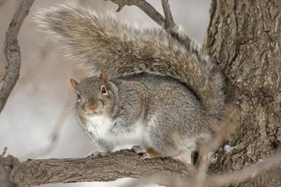 Portrait of an Eastern Gray Squirrel, Sciurus Carolinensis, on a Tree Branch