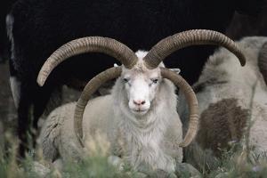 Rare Breed Domestic Churro Sheep, New Mexico by John Cancalosi