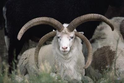 Rare Breed Domestic Churro Sheep, New Mexico