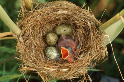Reed Warbler'S Nest With Eggs And European Cuckoo Chick Just Hatched, UK