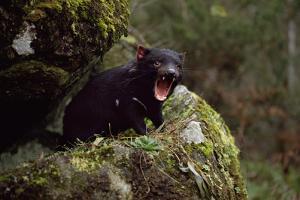 Tasmanian Devil Calling (Sarcophilus Harrisii) Tasmania Australia by John Cancalosi