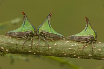 Three Thorn Bugs (Umbonia Sp) On Twig, Costa Rica