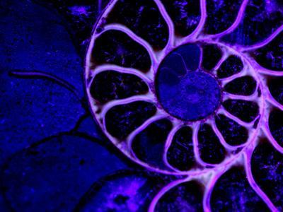 Upper Early Cretaceous Ammonite Fossil under Ultraviolet Light by John Cancalosi