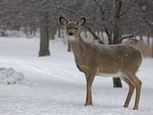 White-Tailed Deer, Odocoileus Virginianus, in a Snowy Landscape by John Cancalosi