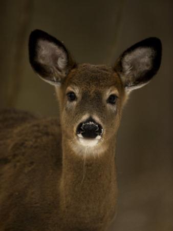 White-Tailed Deer, Odocoileus Virginianus by John Cancalosi