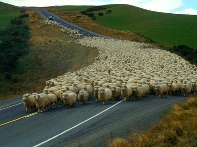 Flock of Sheep in Roadway by John Carnemolla