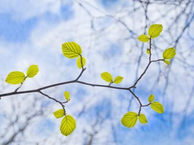 American Beech Leaves on a Branch