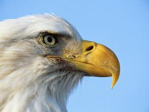 Bald Eagle Profile by John Conrad