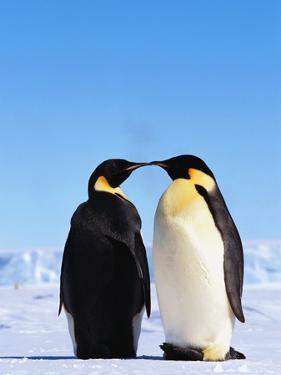 Emperor Penguins Greeting by John Conrad