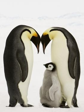Emperor Penguins Protecting Chick by John Conrad
