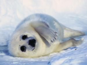 Harp Seal Pup on its Side by John Conrad