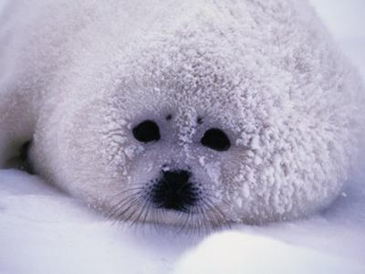 Harp Seal Pup with Snow on Fur by John Conrad