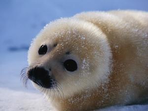 Harp Seal Pup by John Conrad