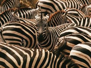 Herd of Zebras by John Conrad