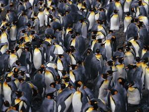 King Penguin Colony by John Conrad