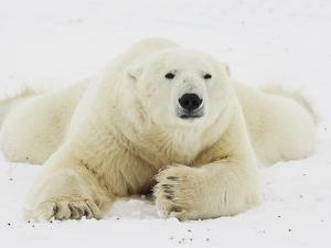 Polar bear lying in snow by John Conrad