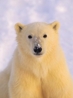 Polar Bear Yearling by John Conrad