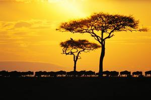 Silhouette of Wildebeest Herd by John Conrad