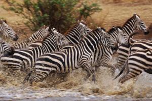 Zebras Running by John Conrad