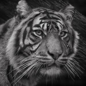 Sumatran Tiger Mono Portrait by John Dickson