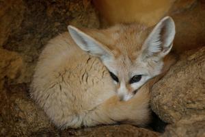 Vulpes Zerda... 'Fennec Fox' by John Dickson