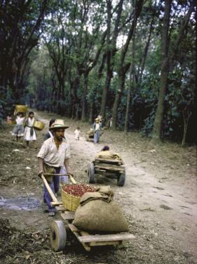 Coffee Workers Harvesting Beans by John Dominis