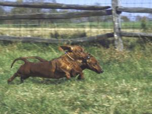 Dachshunds Running Low to the Ground During Gazehound Race by John Dominis