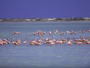Flamingoes, Bonaire by John Dominis