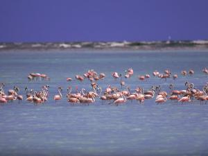 Flamingoes, Bonaire by John Dominis