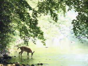 Lone White-Tailed Deer Drinking Water from Banks of Cheat River by John Dominis
