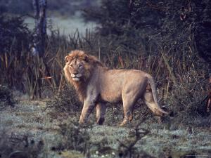 Male Lion in the Wild by John Dominis