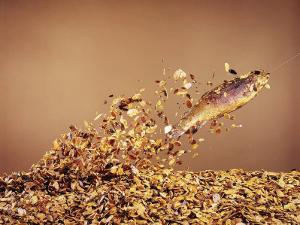 Trout Flying Out of Bed of Almonds in Preparation For Trout Amandine by John Dominis