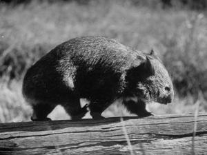 Wombat Walking on a Log by John Dominis