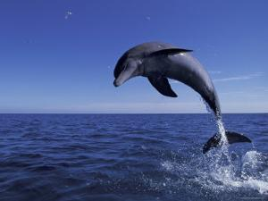 Bottlenose Dolphin Leaping, Bahamas by John Downer