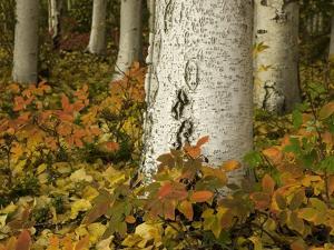 Colorful Autumn Leaves and White Trunks of Aspen Trees by John Eastcott & Yva Momatiuk