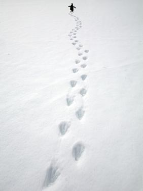 Gentoo Penguin Walking and Leaving Footprints in Snow by John Eastcott & Yva Momatiuk