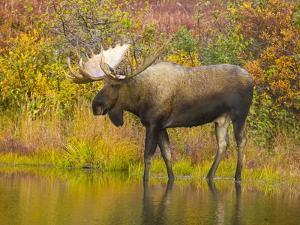 Moose Bull in Pond in Alaska by John Eastcott & Yva Momatiuk