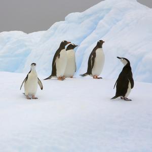 Penguins Standing on Iceberg by John Eastcott & Yva Momatiuk