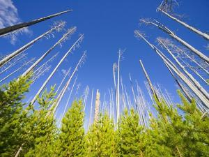 Spruce Forest After Fire With Young Trees by John Eastcott & Yva Momatiuk