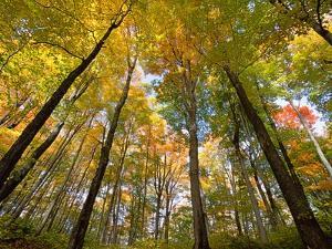 Sugar Maples in Fall in Vermont by John Eastcott & Yva Momatiuk