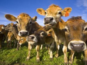 Young Calves in Pasture in New Zealand by John Eastcott & Yva Momatiuk