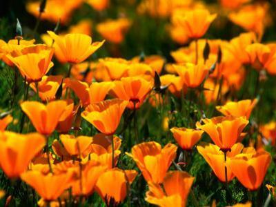 Californian Poppies, USA by John Elk III