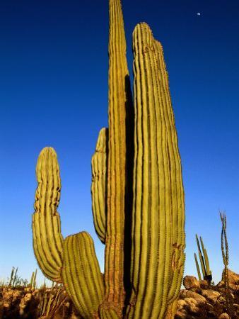 Cardon Cactus, La Paz, Baja California Sur, Mexico by John Elk III