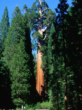 General Grant Tree in Grant Grove, Kings Canyon National Park, USA by John Elk III