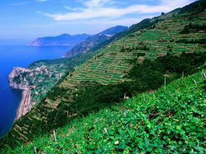 Vineyards from Trail Above Corniglia, Cinque Terre, Liguria, Italy by John Elk III
